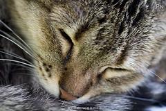 Just one more nap (Pedro Nogueira Photography) Tags: pedronogueiraphotography pedronogueira photography animal cat gato doméstico domestic kitty kittens pets pet peta
