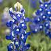 Texas Bluebonnet Closeup