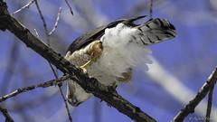 Épervier de Cooper /Cooper's Hawk (richard.hebert68) Tags: nikon z7 300mmf4pf domainemaizerets arbre forêts epervier ciel bleu printemps québec canada