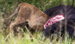 LION 9 (Nigel Bewley) Tags: tanzania africa wildlife nature wildlifephotography nigelbewley photologo appicoftheweek safari gamedrive lion pantheraleo simba maswagamereserve march march2019 bigcat kill hunt africanbuffalo capebuffalo synceruscaffer