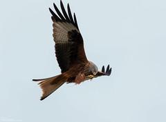 Red Kite feeding on the wing (Steve (Hooky) Waddingham) Tags: bird prey animal planet wild wildlife nature