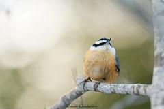 Last light (Romain Claudepierre) Tags: parc rivière mitis river nikon sigma 120300 f28 os wildlife bird