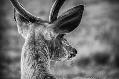 Weary, Aware & Cautious (SNAPShots by Patrick J. Whitfield) Tags: animals details life lines patterns texture old cute outside nature deer natur naturephotography blackwhite blackandwhite noiretblanc bnw bw monochrome dof depthoffield portrait candid eyes flickr mono day light shadows white
