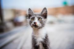 SLR Magic 35mm F1.2 (W WWWWWWWWWWWWWWWWWWWWWW) Tags: gatito 12 kitten slr magic