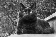 Guardian of the front-door-steps (pwendeler) Tags: bw blackcat blackandwhite black blackwhite white cat katze chat gato gatonegro gatonero schwarzekatze sonyalphaa6500 sony happycaturday haustier pet animal