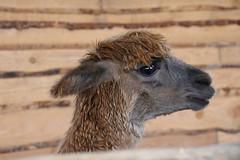Alpaca (Orchideeenhoeve) (sabrina.brouwer) Tags: alpaca alpacas animal animals