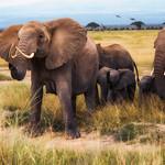 African Bush Elephants, Amboseli National Park thumbnail