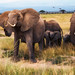 African Bush Elephants, Amboseli National Park