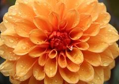 Plas Newydd (richardr) Tags: plasnewydd dahlia flower flora nature macro anglesey wales welsh cymru britain british greatbritain uk unitedkingdom europe european garden ynysmôn