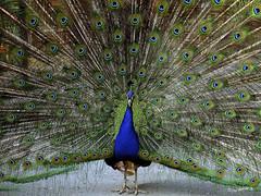 Blauer Pfau (Pavo cristatus) (wb.fotografie) Tags: blauerpfau pfau pavocristatus vogel fasan hühnervogel ziervogel hahn bluepeacock peacock bird pheasant chickenbird ornamentalbird cockerel