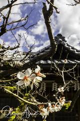 Japan19Ky_IO_1144-1 (oalard) Tags: japan japon canon 1dmkiv kyoto flower fleur
