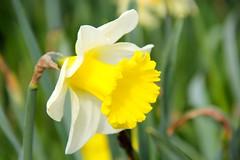 Trompet Narcis (ToJoLa) Tags: 2019 spring voorjaar lente bloemen blossom flower helmond brouwhuis pink yellow sky nature natuur natuurgebied ontrack zon maart narcis geel green groen trompetnarcis