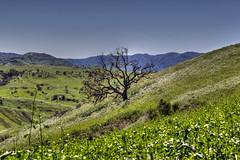 (Burned) Valley Oak Tree (pbuschmann) Tags: valleyoaktree oak fire survival reincarnation quercuslobata