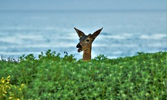 April2Image9858 (Michael T. Morales) Tags: deer ptpinos pacificgrove montereybay nature muledeer