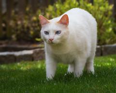 I'm walking ... (FocusPocus Photography) Tags: katze kater cat chat gato tier animal haustier pet gras grass rasen lawn garten garden filou