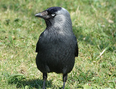 Jackdaw (hedgehoggarden1) Tags: jackdaw crow bird rspb wildlife nature sonycybershot creature animal norfolk eastanglia uk sony