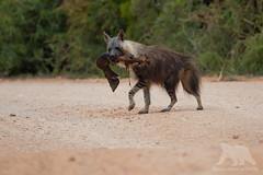 Brown Hyena (fascinationwildlife) Tags: animal mammal wild wildlife nature natur national park add elephant sanparks road morning brown hyena hyäne braune streifenhyäne predator south africa summer südafrika afrika raubtier eastern cape addo