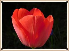 Czerwony tulipan. (andrzejskałuba) Tags: poland polska pieszyce dolnyśląsk silesia sudety europe plant natura nature natural natureshot natureworld nikoncoolpixb500 roślina red color cień czarny beautiful black flower flora floral zieleń green garden ogród macro tulip tulipan spring wiosna shadow 100v10f 1000v40f 1500v60f