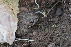 Un sapo bajo una piedra (esta_ahi) Tags: olèrdola gripau sapo bufonidae anura amphibia fauna penedès barcelona spain españa испания