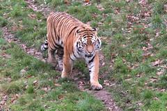 IMG_1476 (Simon M Hendry) Tags: yorkshirewildlifepark zoo england yorkshire wildlifepark animal mammal tiger bigcat amurtiger walking