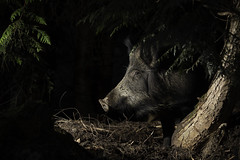 Wild boar (Thomas Winstone) Tags: canonuk canon mammal mammals boar susscrofa uk countryside outdoor forest forestry wild wildlife nature canon1dxmark2 3lt my3leggedthing thomaswinstonephotography bbc springwatch bbcspringwatch nationalgeographic frischlinge