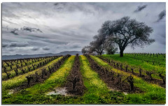 T (A Work of Mark) Tags: mustard vineyard oaktree storm water clouds color aurorahdr topazclarity sonomacounty