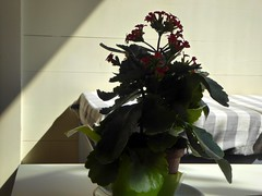 Al bar (fotomie2009) Tags: kalanchoe succulent succulenta plant flora flowers red pianta vaso pot interior interno controluce backlight bar milano dehors shadows