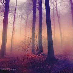 orange mist (Dyrk.Wyst) Tags: mystical forest tinted iphone6s creativephotography trees fog gloe wet rain violet foliage beechtrees winter twilight landscape weather
