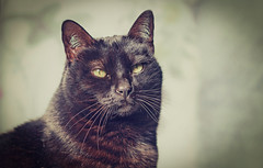 Pepe (Pepenera) Tags: cat cats gatto gato gatti blackbeauty portrait