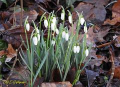Die Frühblüher sind da: Die Schneeglöckchen (CH.E.G.Fotografie) Tags: frühblüher frühlingsboten blumen schneeglöckchen pflanzen