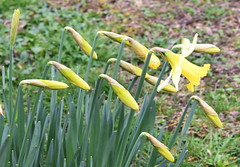 DSC_2532 Daffodils (PeaTJay) Tags: nikond750 sigma reading lowerearley berkshire macro micro closeups gardens outdoors nature flora fauna plants flowers daffodils