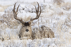 Basket (DennisKirkland) Tags: deermule deerodocoileus hemionusodocoileus hemionus coluusadeer muledeer odocoileushemionus odocoileushemionuscolumbianus blacktailed buck snow antlers typical basket wild wildlife outdoors nature canon photograph dennisekirkland license licensing editors publishers