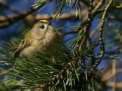 Goldcrest (ukstormchaser (A.k.a The Bug Whisperer)) Tags: goldcrest goldcrests uk bird birds animal animals wildlife bucks buckinghamshire conifer tree trees woodland woods afternoon february winter sunshine male
