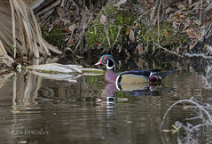 Wood duck drake (wandering tattler) Tags: aix wood woodduck duck waterfowl bird colorful male sarasota wildlife florida 2019 animal