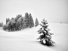 It is still Winter Time! Enjoy :-) (W_von_S) Tags: winter winterlandschaft snow schnee winterpanorama snowscape snowlandscape schneelandschaft schneeschuhwanderung tanne wald forest landschaft landscape paysage paesaggio natur nature schneefall snowfall 2019 outdoor alpen alps berge mountains wvons werner sony sonyilce7rm2 reit im winkl hindenburghütte bayern bavaria schwarzweis blackwhite monochrome baum tree