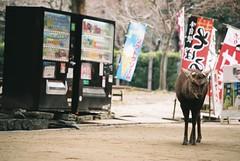 Single Man (GingerKimchi) Tags: nara osaka japan travel nature asia film 35mm fujifilm canon deer canona1 2019 spring february march