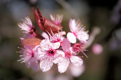 Blossom 2 (Jez22) Tags: prunuscerasifera nigra blossom cherryplum cherry plum flowers tree growth pink color copyright jeremysage