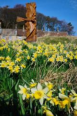 Danby Daffodils (Hector Patrick) Tags: fujifilmxh1 fujinonxf1655f28wr landscape flora fleur flickrelite fuji northyorkshire danby britnatparks colors colourful national flower daffodil