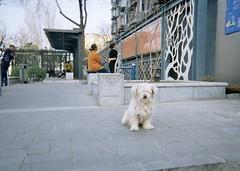 2019.0316-0320 北京 (radish61783) Tags: puppy 狗 2019 北京