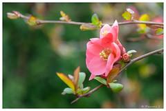 Premières fleurs (Pascale_seg) Tags: fleur fleurs printemps spring primavera fiore moselle lorraine grandest france nikon cognassier jardin garden giardino