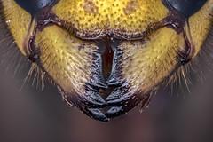 Clamp (Kuvvet) Tags: clamp bee wasp hornet black yellow blackandyellow insect bumblebee animal closeup macro