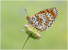 Spotted Fritillary - Melitaea didyma. (nigel kiteley2011) Tags: butterfly insect macro nature butterflies melitaea fritillary lepidoptera canon 5dmk3 spottedfritillary melitaeadidyma