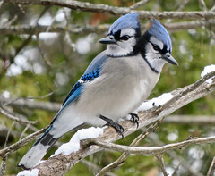 I couldn't believe my eyes!! (Meryl Raddatz) Tags: bird bluejay nature aprilfoolsday blue