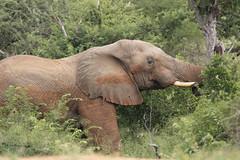 IMG_7054 (Rorals) Tags: elephant wildlife safari southafrica kruger mammal trunk animal elephants nature art animals travel love africa kerala elephantlove cute wildlifephotography elephantlover elefante