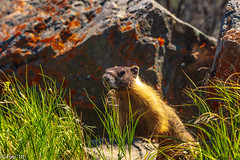 0I7A3589.jpg (Murray Foubister) Tags: 2018 summer bc kamloops mammals