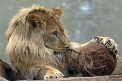 african lion Dembe artis 094A0009 (j.a.kok) Tags: animal artis africa afrika afrikaanseleeuw africanlion mammal zoogdier dier leeuw lion pantheraleoleo dembe