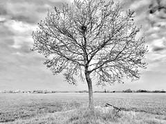 iph8095 (gzammarchi) Tags: italia paesaggio natura pianura campagna ravenna borgomontone albero quercia nido bn