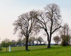 Frühlingsbäume (Bernhard Schlor) Tags: niederösterreich country baum österreich europa austria tree pflanzen europe natur mauerbach autriche nö loweraustria frühling primavera printemps jahreszeiten seasons spring springtime