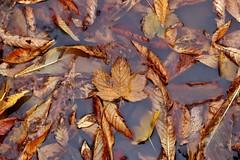 Autumn in Copenhagen (edlion259) Tags: copenaghen copenhagen københavn danimarca denmark autumn autunno foglie foglia water acqua reflexion riflessi allaperto pioggia rain yellow