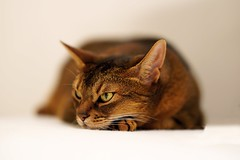 LizZie bored (DizzieMizzieLizzie) Tags: wild abyssinian aby lizzie dizziemizzielizzie portrait cat feline gato gatto katt katze kot meow pisica sony neko gatos chat fe ilce 2018 ilce7m3 a7iii pose classic pet golden bokeh dof animal t f14 85mm gm